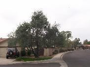 A neighbor's olive tree